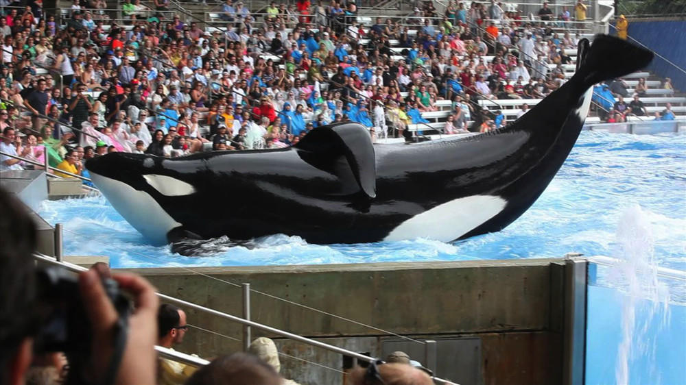 "Kritik nach Doku ""Blackfish"": Schluss mit den Orca-Shows in SeaWorld"